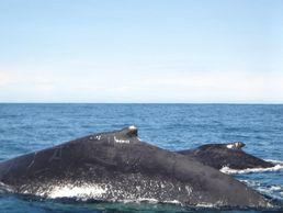 Kolumbien Walbeobachtung an der Pazifikküste