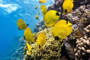 Bunte Fische am Korallenariff