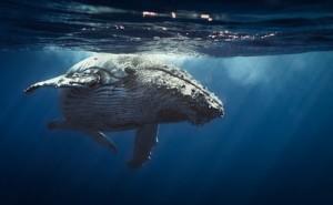 Buckelwale vor der Samana Halbinsel