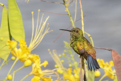 Kolibri in Venezuela