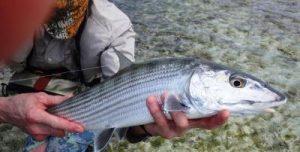 Karibik Fliegenfischen in Los Roques