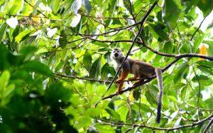 Affe im Nationalpark Amacayacu