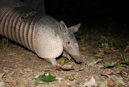 Tier in der Llanos Region Venezuela
