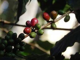 Kaffeepflanze im Bundesstaat Monagas