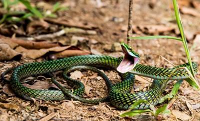 Schlange im Kolumbien Amazonas