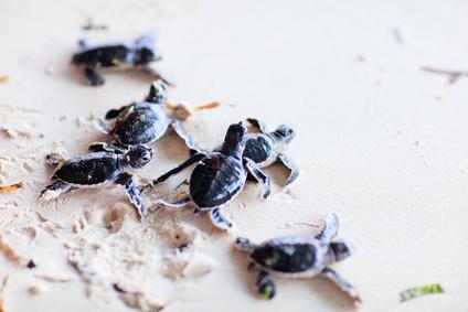 Jungschildkröten am Strand in Kolumbien
