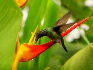 Kolibri im Henri Pittier Nationalpark
