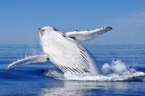 Wal an der Pazifikküste Kolumbiens